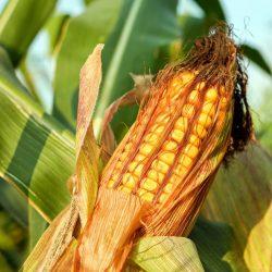 corn-on-the-cob-2941068_1280