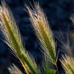 wheat-crops-143373_1920